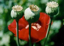Poppy Seed Heads and Flower